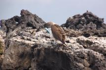 Blue-footed boobies, on rocky coasts of Galapagos