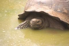 The Galapagos giant tortoise, Santa Cruz, Galapagos