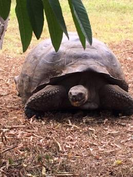 The Galapagos giant tortoise eating guava fruit