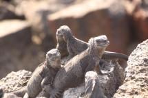 Marine Iguana family, Galapagos